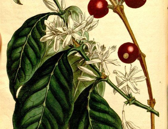 Οι καρπoί της Coffea Arabica